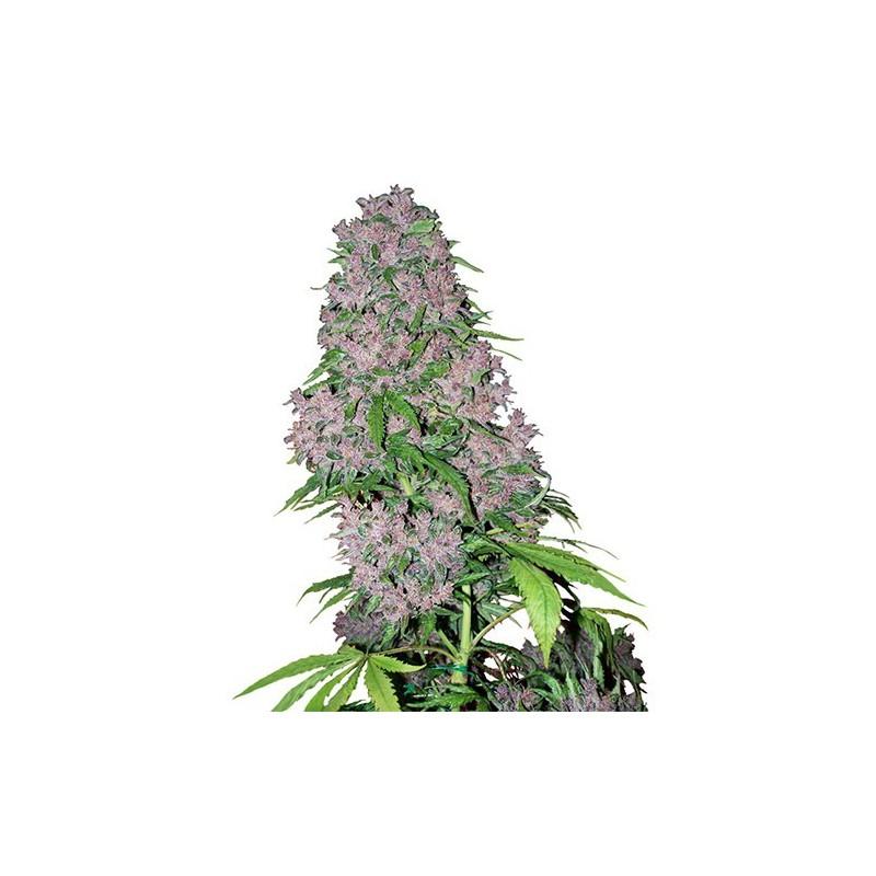 šiška z konope Purple Bud Feminized
