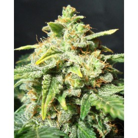 a bud of autoflowering cannabis strain Snow Ryder