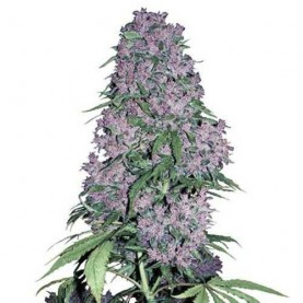 a bud of autoflowering cannabis strain Purple Bud