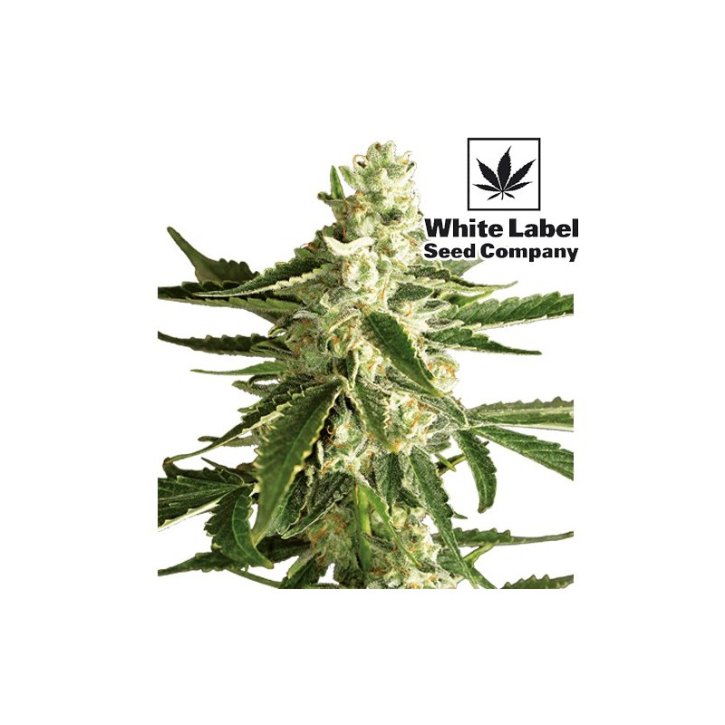 šiška / kvet rastliny konope * marihuana WHITE DIESEL HAZE Automatic (3 Semienka) od White Label Seed Company