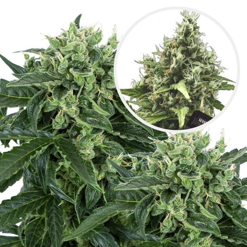 Sensi Amnesia Automatic (3 semienka) - Semená marihuany Sensi Seeds Research